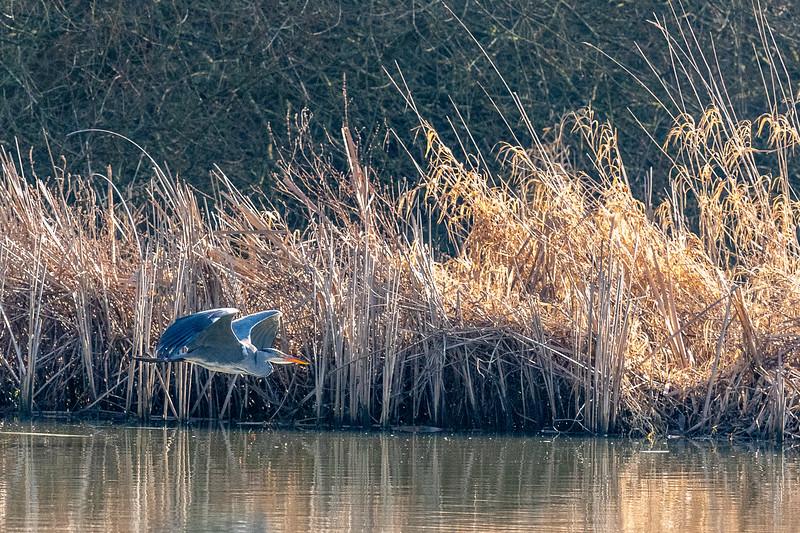 Heron-55.jpg