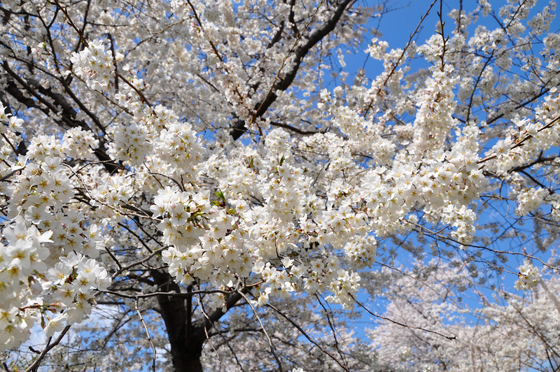 Cherry Blossoms 2014 072.jpg