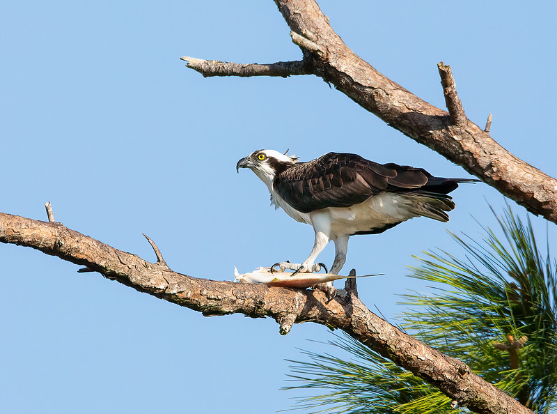 Osprey and no one will eat this catch but him!