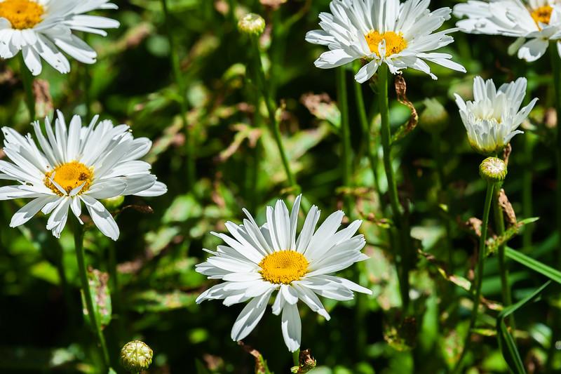 20190714 Daylilies and Flowers-6428.jpg