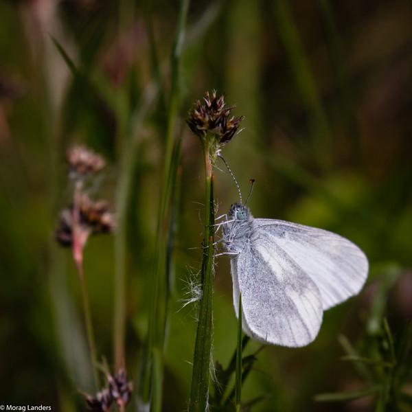 Wood White on Rush - Morag