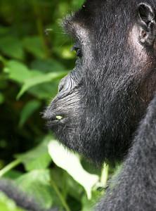 Profile of wild mountain gorilla enjoying morning foliage. Bwindi Impenetrable Forest, Uganda.