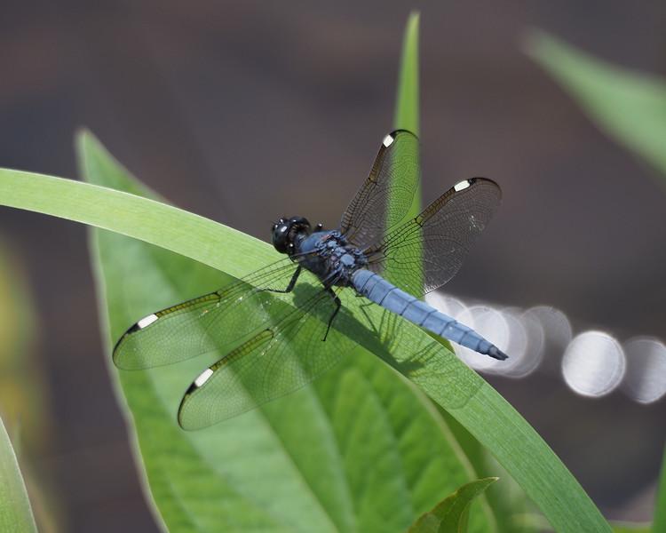 Spangled Skimmer, male