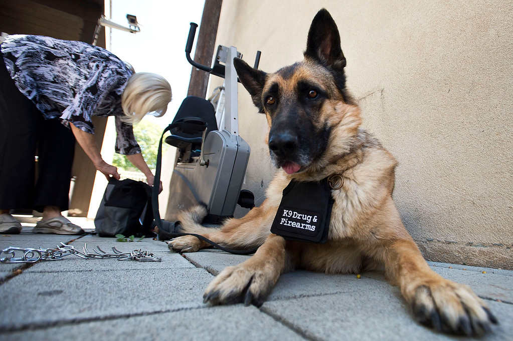 . Bruno, a drug and firearm dog, visits Whittier Area First Day Coalition on Wednesday, June 26, 2013. Bruno and his handler, Cher Abellano, will visit the facility randomly throughout the year to conduct safety checks. (SGVN/Staff photo by Watchara Phomicinda)