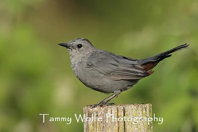 Mimids (Catbirds, Mockingbirds & Thrashers)