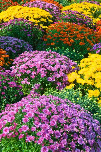 October 5_ChrysanthemumGarden_9695.jpg