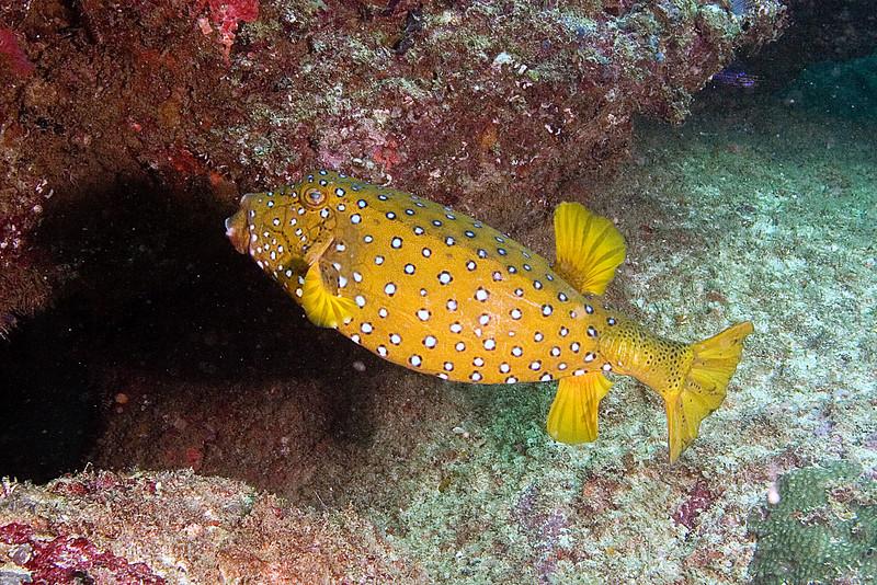 xYellow Boxfish.jpg