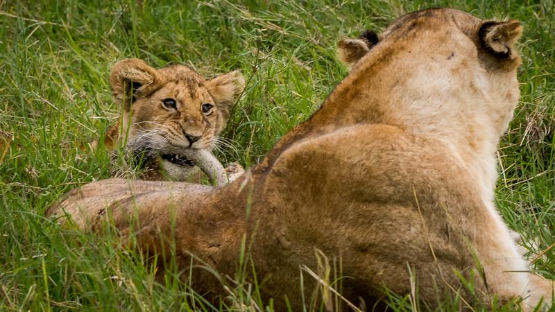 Lions-0136.jpg