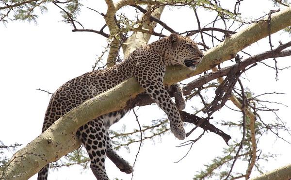 Leopard Tanzania 2006 2009