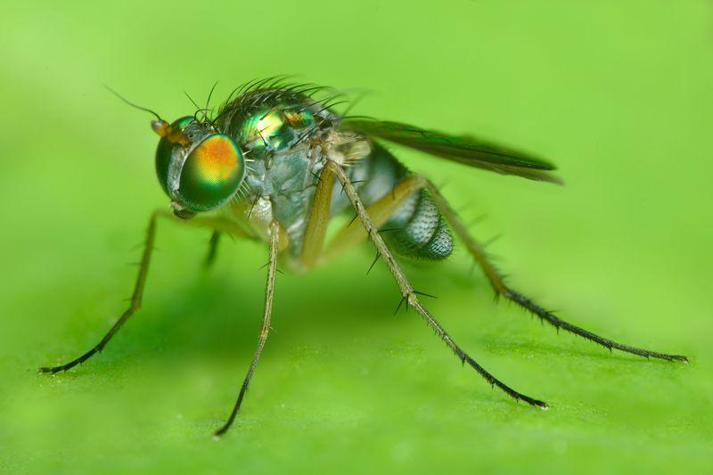 greenlongleggedfly.jpg
