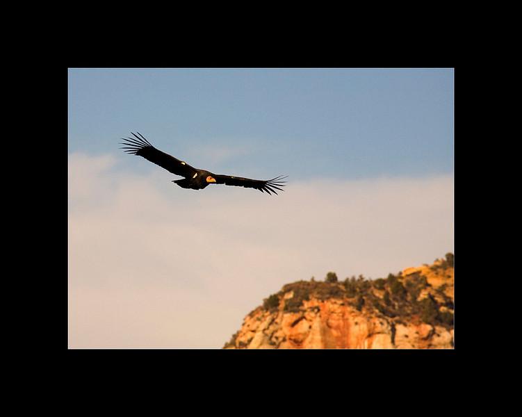 California Condor in flight, Angels Landing Trail, Zion National Park, UT
