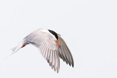 Labbar, måsar, tärnor & alkor / Skuas, Gulls, Terns & Auks