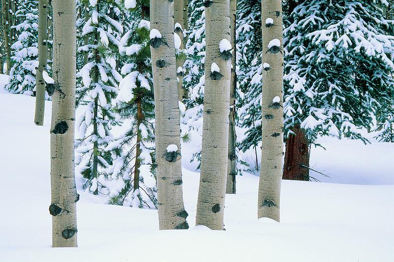 Winter Aspen Boles