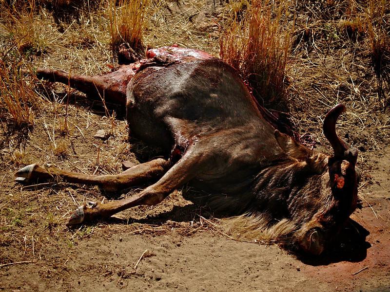 En del av livet på savannen. En gnu har utført sin livsoppgave - å være løvemat i Masai Mara, oktober 2006. *** A part of life on the savanna. A Wildebeast has fulfilled it's task in life - to be fodder for the carnivores. Masai Mara, October 2006. (Foto: Geir)