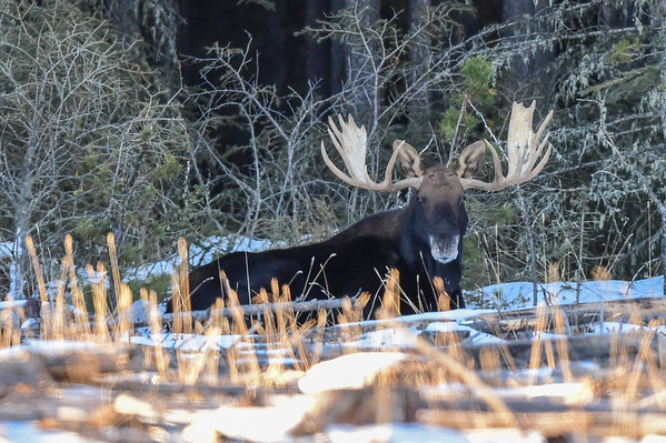 11-19-15 Large Bull Moose