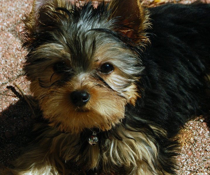 003 Jewels the Yorkshire Terrier 13 weeks