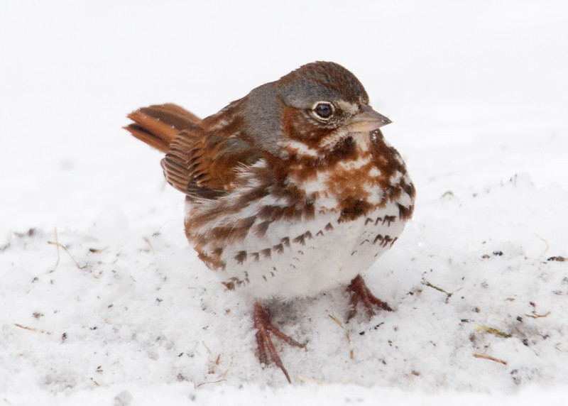 Sparrow - Fox - Dunning Lake, MN - 02