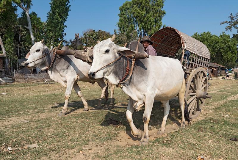 Bullock cart (oxcart) in Mingun, Burma (Myanmar)