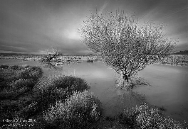 Death Valley Flooded Trees BW