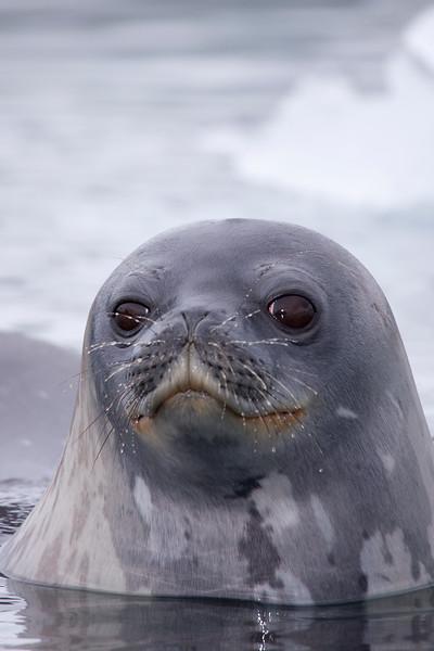 Weddell Portrait.jpg