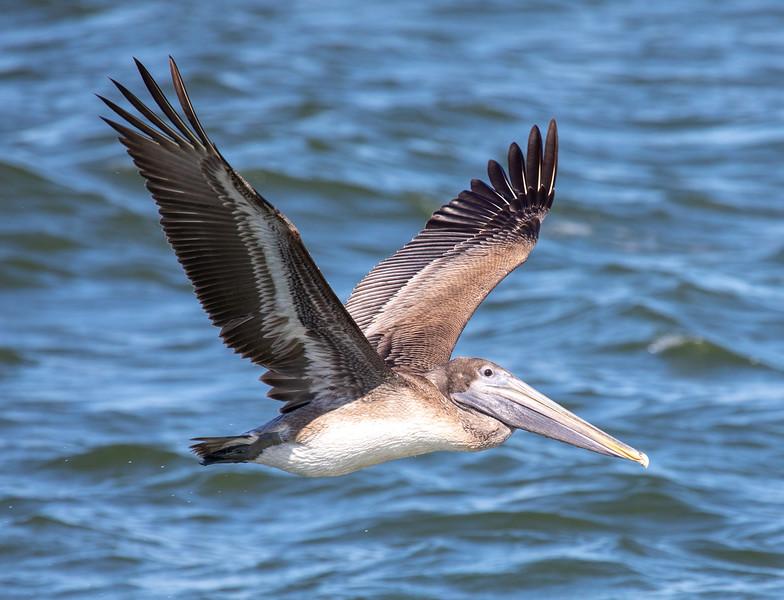 Brown-Pelican-3.jpg
