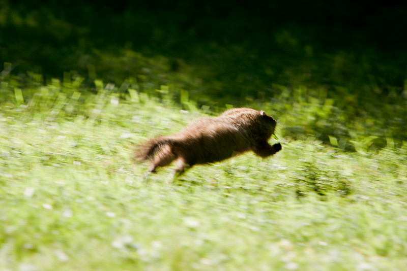 Eventually the woodchuck saw me and ran away.