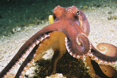Octopus and cuttlefish. Lembeh Strait (Indonesia), October 2006