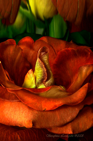 DSC_0935-Red ROSE .jpg