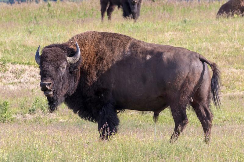 bison-2.jpg