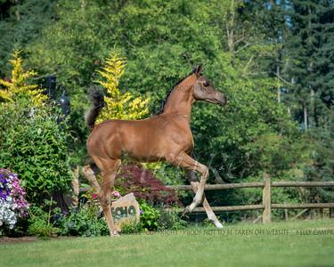 Rosecity Arabians