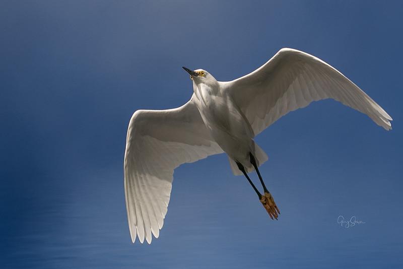 Snowy Egret 01 WS.jpg