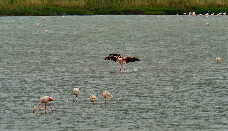 pink flamingos touching down