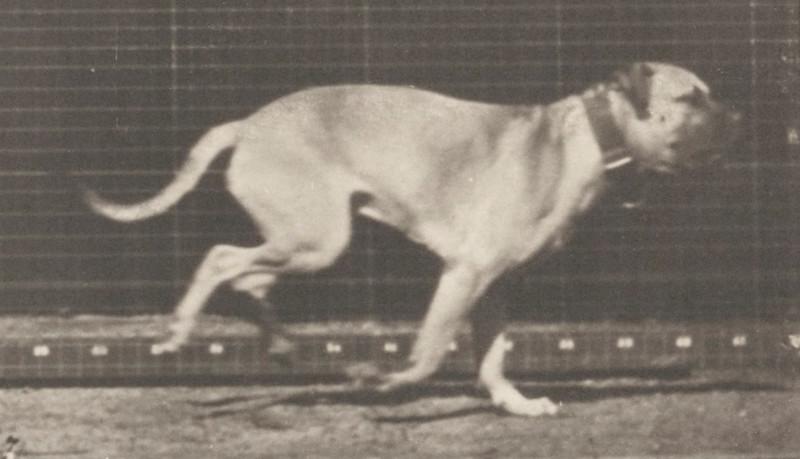 Dog Dread galloping