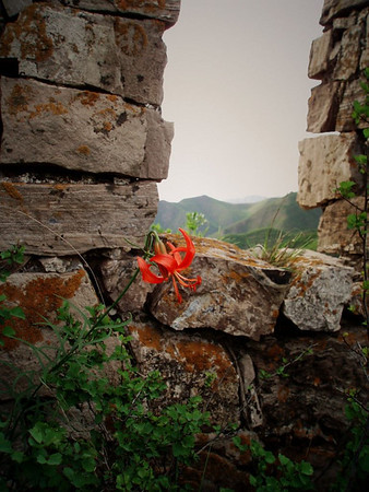 Flower on the great wall