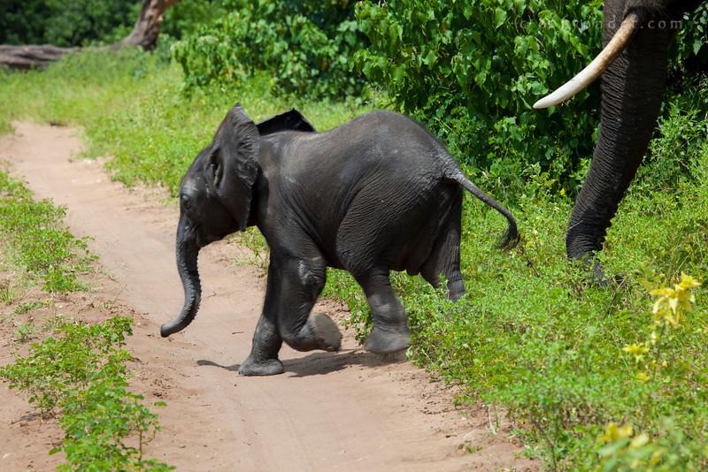 CHOBE NATIONAL PARK, BOTSWANA - African bush elephant (Loxodonta africana)