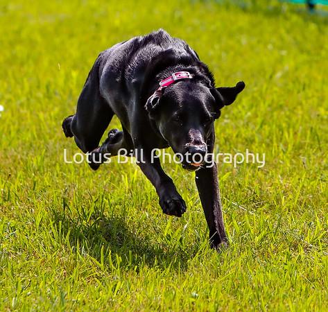 Black Labrador DH2