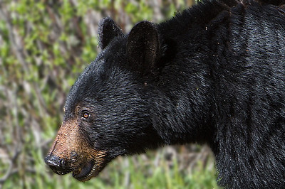 Kananaskis Bear and Cub
