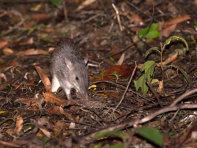 Northern Long-nosed Bandicoot