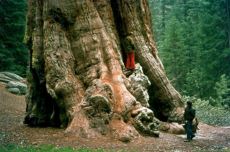 1404 Giant Sequoia NP 1974.jpg