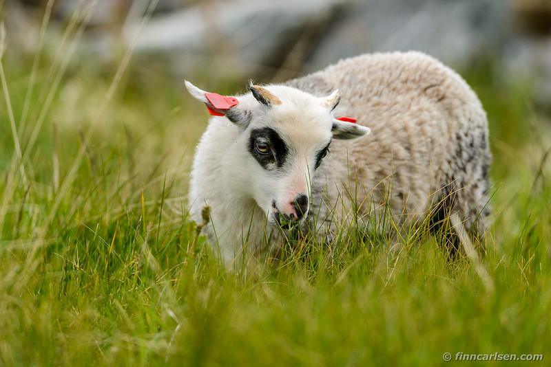 Lam / Lamb