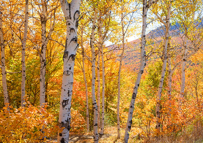 Birch Trees And Fall Colors