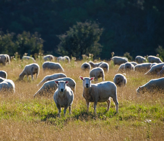 Sheep of New Zealand