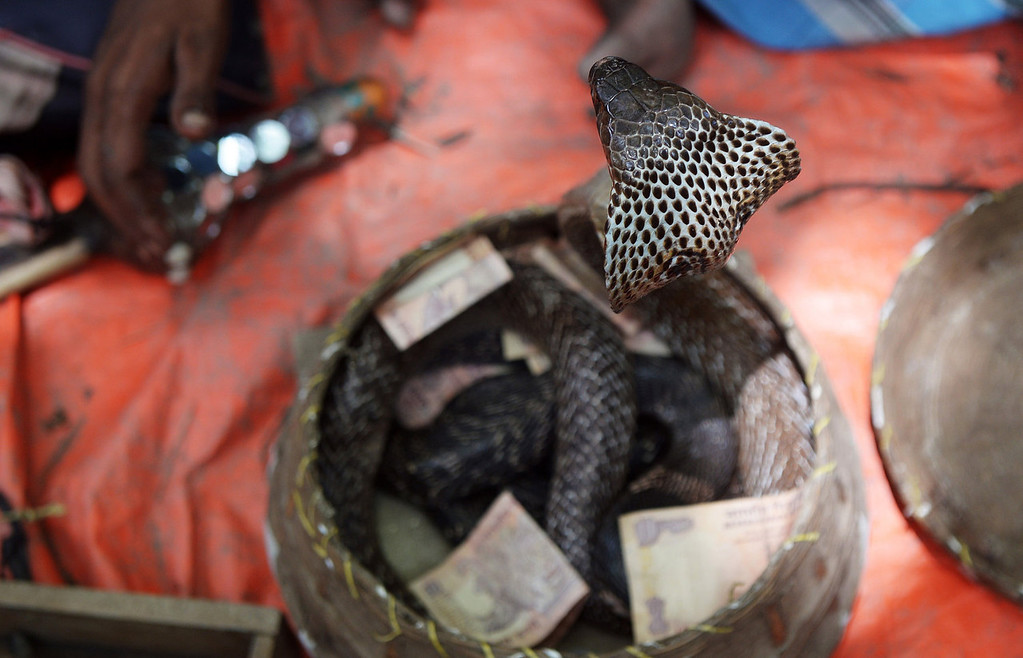 . An Indian snake charmer performs with a \'gokhra\' - cobra - in a basket for passers by at a snake fair at Purba Bishnupur village, around 85 kms north of Kolkata on August 17, 2013.  Hundreds of people queued in a remote village in eastern India over the weekend to receive blessings from meters-long and potentially deadly snakes, thought to bring them good luck.   DIBYANGSHU SARKAR/AFP/Getty Images