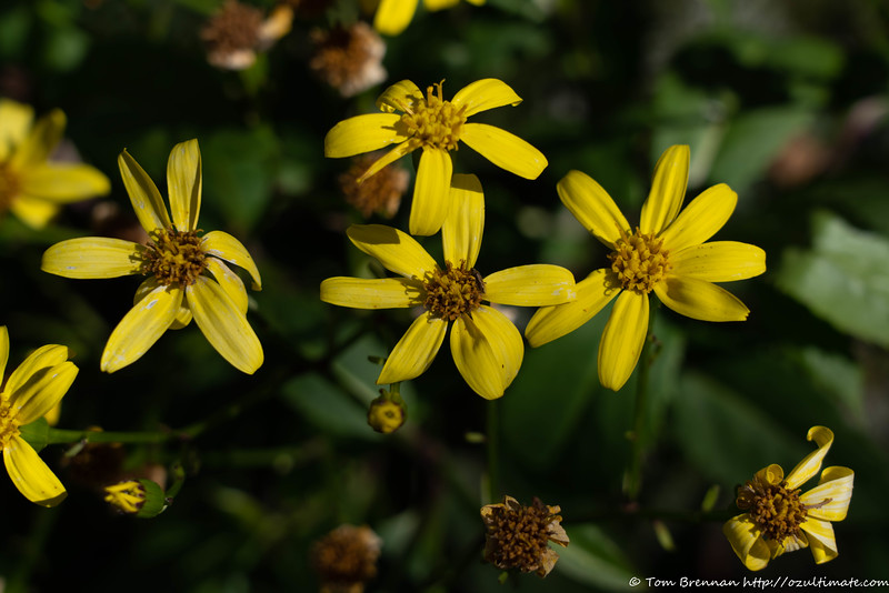 It looked a bit like a weed, but I think this is Variable Groundsel (Senecio pinnatifolius)