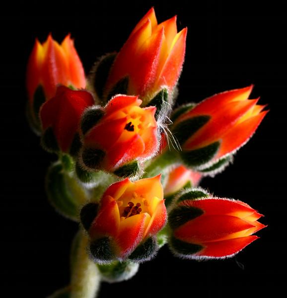 succulent flowers--3.jpg