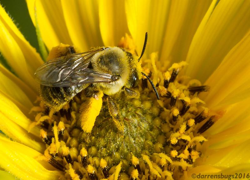 Long-horned bee - tribe Eucerini, genus Melissodes (Iowa, USA).