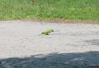Monk/Quaker Parrots