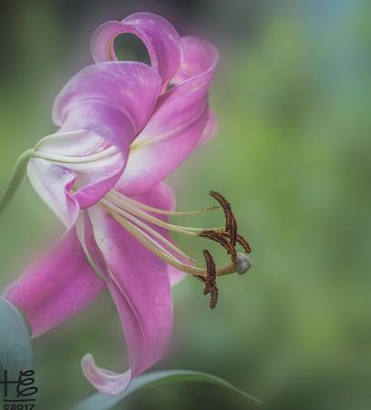 Inspiring Lilies