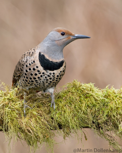 Flicker females have the brown mustaches.