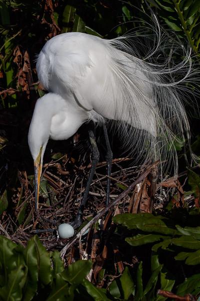 Egret with Egg